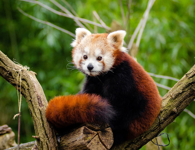"""Asia The Red Panda, or """"firefox,"""" or """"lesser panda"""